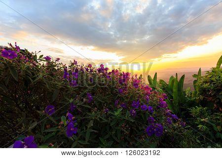 Purple Princess Or Brazilian Spider Or Glory Bush Flower In Sunset