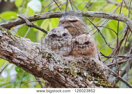 Hodgson's frogmouth Batrachostomus hodgsoni Male Babys in Nest