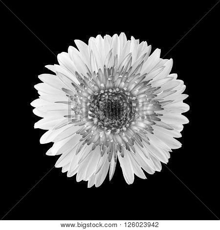 Gerbera Flower In Black And White