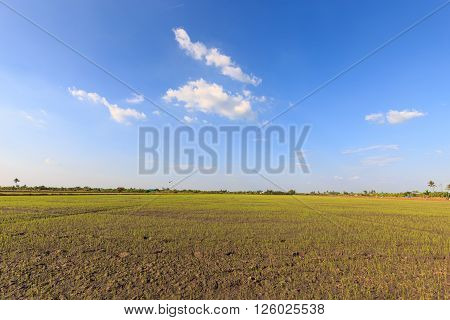 Rice seedling plantation in the farm and blue sky