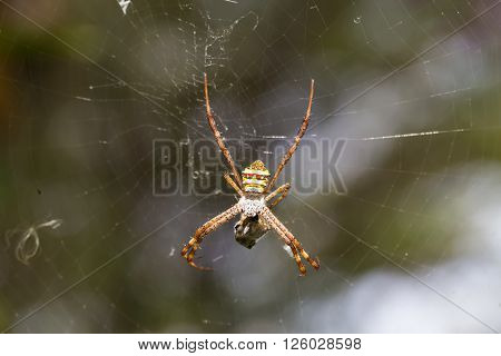 Yellow-black spider eating an insect in spider web