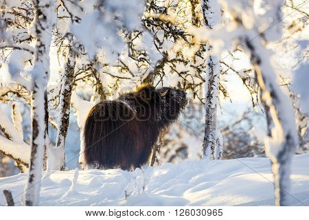 Big musk eat from a tree in the winter snow at sunset
