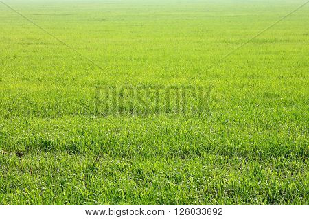 Background of green grass, texture from field. Summer landscape.
