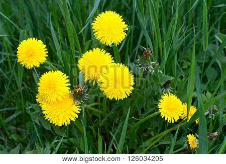 Dandelions in the meadow. Bright flowers dandelions on background of green meadows