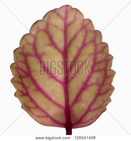 Pink and brown leaf isolated on white background.