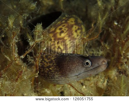 Juvenile mediterranean moray eel (Muraena helena) photographed near Malta.