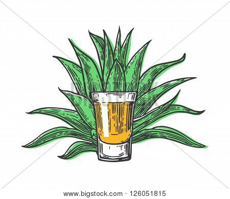 Cactus blue agave with glass tequila. Vintage vector engraving illustration for label poster web