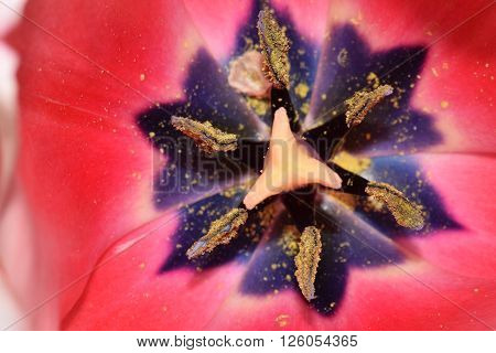 Macro image of stamens and anthers of a Tulip flower with pink petals background