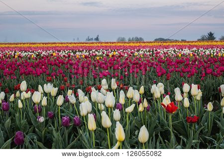 Multi-colored, multi-layered Tulip field, different colors in field.