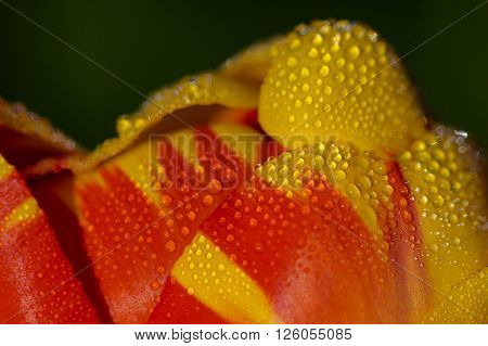 Red and yellow tips of a Tulip flower with drops of water.