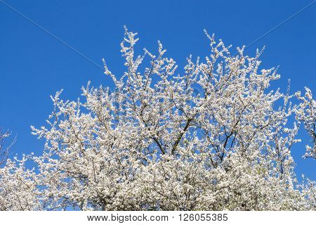 Crown of the blossoming wild fruits tree in the early spring. White small flowers and bright blue sky without a single cloud.