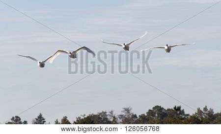 Four mute swans flying in a formation front view. Pine forest below