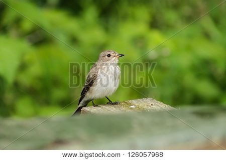Spotted flycatcher  hunting for insects. This Spotted flycatcher tries to catch some insects