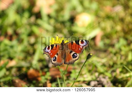 The European Peacock gathering nectar. This butterfly is drinking nectar from a dandelion
