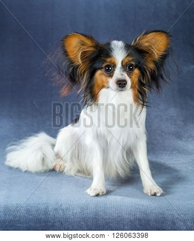 Young dog of breed papillon sitting on a blue background