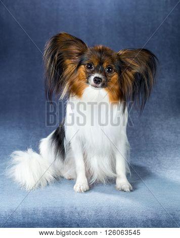 Beautiful dog breeds Papillon sitting on a blue background