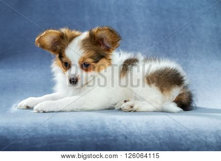 Cute Papillon puppy lying on a blue background