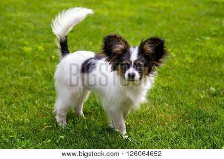 Papillon puppy is standing on the green grass