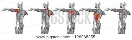 Concept or conceptual 3D back human anatomy or anatomical and muscle set or collection isolated on white background