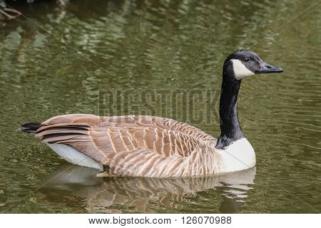 Canada goose swimming in the water in the evening sun
