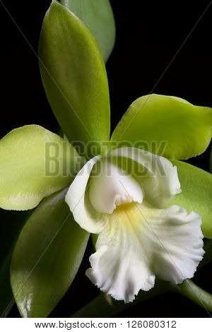 Gorgeous green and wgite orchid flowers over black background (Cattleya sp)