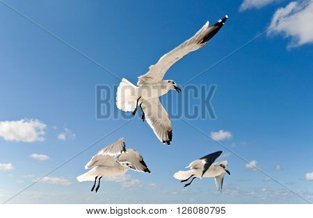 Three Seagulls In Flight over the Ocean