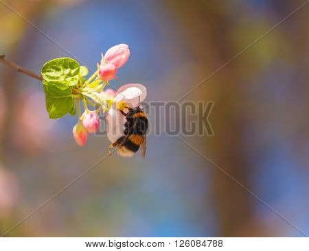 Bumblebee on pink and white spring apple blossom.