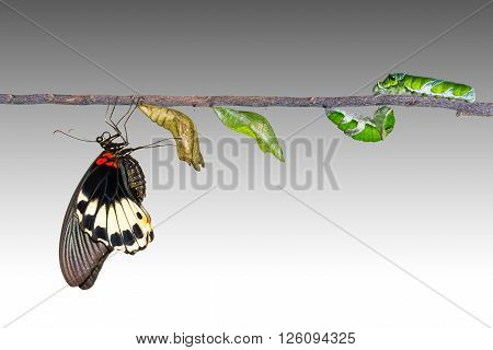 Life cycle of female great mormon butterfly from caterpillar with clipping path.