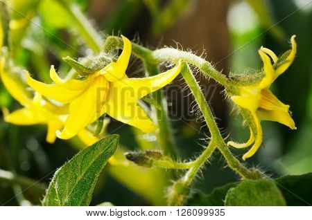 Bright yellow blowing flowers of tomatoes over blurry background