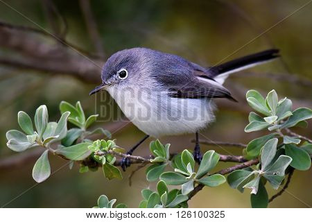 The warbling vireo is a small North American songbird.