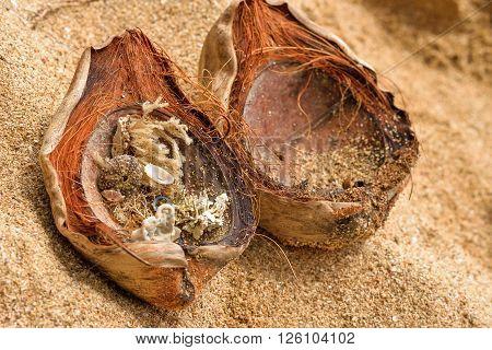 Shells in a coconut in Manzanillo beach, Limon, Costa Rica