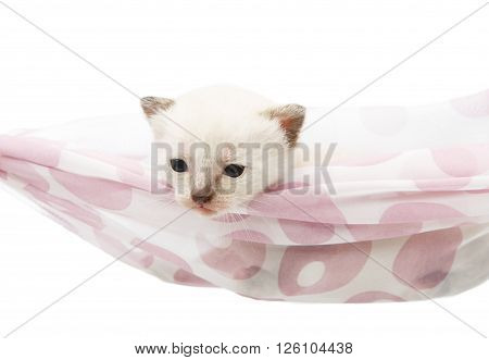 White kitten in a hammock. Cute white kitten in a mauve violet hammock having rest, relax isolated at white background. Adorable pet. Small heartwarming kitten. Little cat. Animal isolated. High key