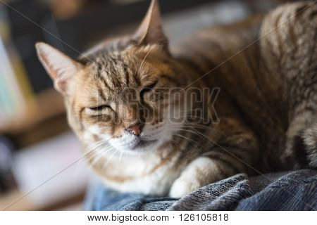 lazy domestic tabby cat sleep on the chair