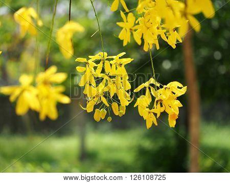 Golden shower (Cassia fistula), yellow flower national flower of Thailand