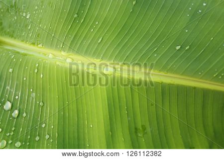 Banana leaf in Thailand Asia  green background