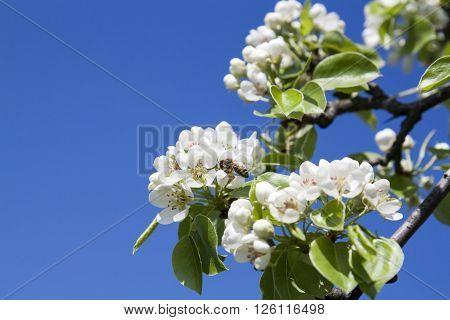 Pear Blossom On Light Blue Sky Background