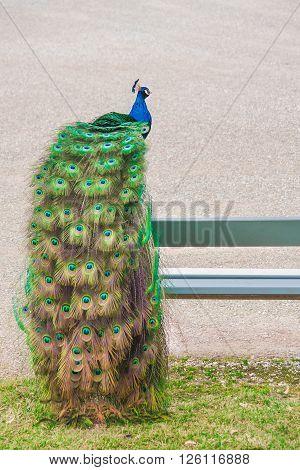 Portrait image of a male peacock walking in a garden.
