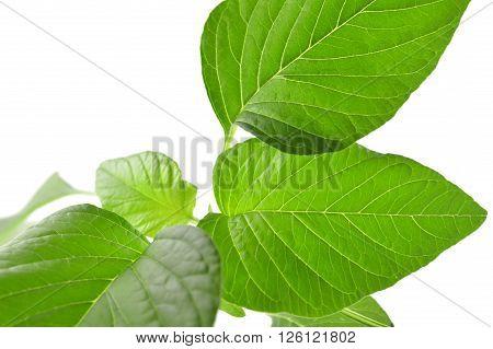 Amaranth, Amaranthus sp., Family Amaranthaceae, Central of Thailand