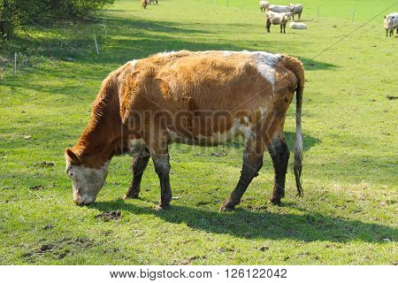 brown cow pasturing on the green meadow