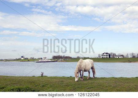 white horse grazes near ferryboat on river rhine at Wijk bij Duurstede in holland