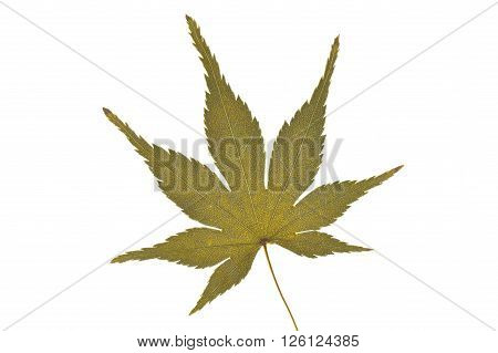 Dried Japanese maple leaf on white background ** Note: Soft Focus at 100%, best at smaller sizes