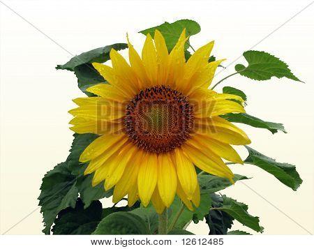 Sunflower On A Rainy Day