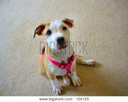 American Pit Bull Puppy