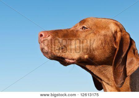 Staring Vizsla Dog (hungarian Pointer)