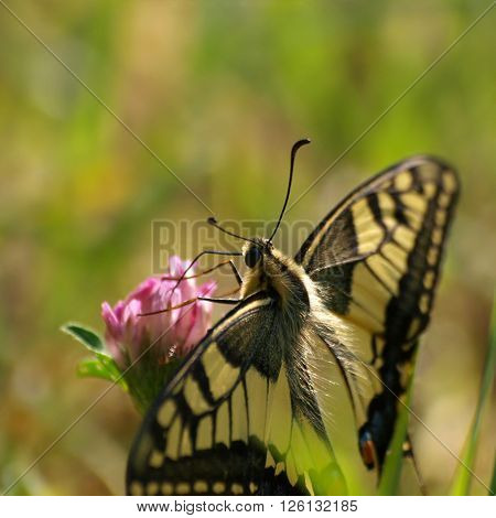 Butterfly swallowtail on a flower of clover in a summer meadow.