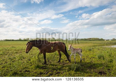 A dark brown mare and her light brown newborn foal walking in a nature reserve at the end of a sunny day in the spring season.