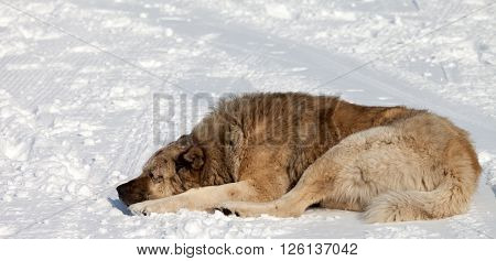 Big dog sleeping on snow, ski resort