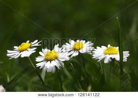 macro daisies photographed in daylight the revival of nature