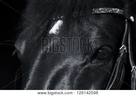 Black horse close up with beautiful rhinestone browband