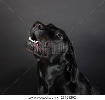 Growling Labrador Retriever (on a black background)